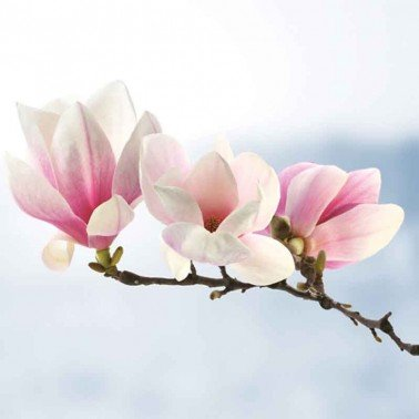Servilletas para decoupage Magnolia Twig Light Blue 33 X 33 cm.